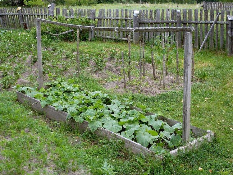 На початку літа огірки вже підросли і можна зайнятися їх підв'язкою та формуванням, а відповідно — прищипуванням