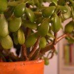 Грошове дерево — чому опадає листя?