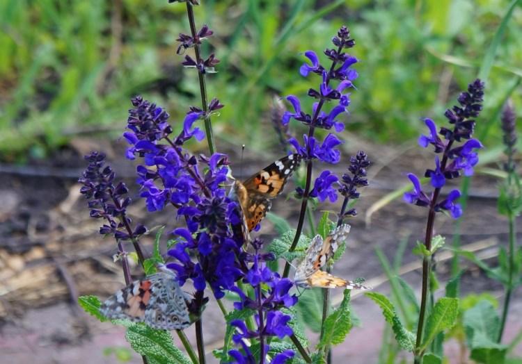 Шавлія привертає до себе величезну кількість метеликів