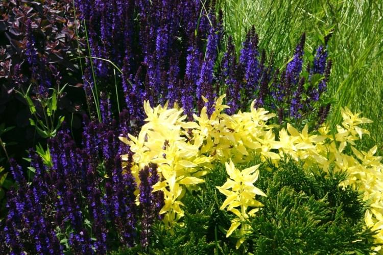 Шавлія у квітнику — перша хвиля цвітіння