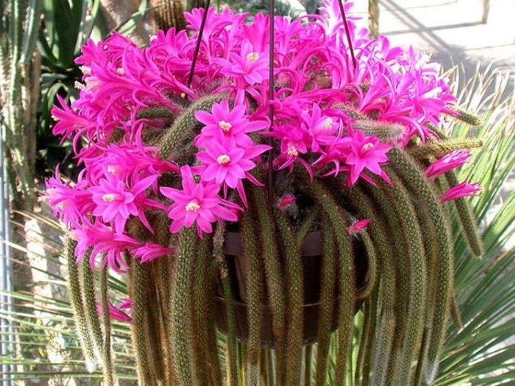 Дізокактус плетевидний (Disocactus flagelliformis)