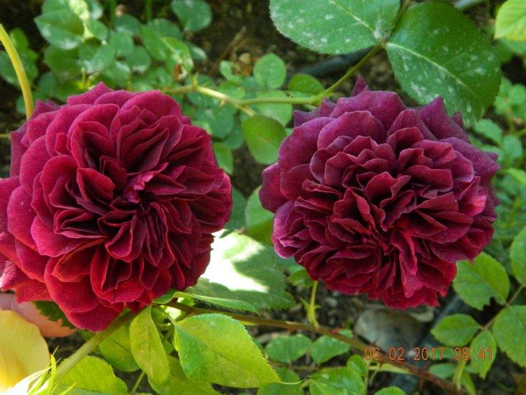 Троянда Tradescant, 1993