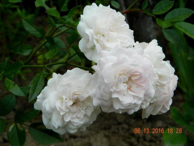 Троянда Eulalia Berridge, невідомого інтродуктора, Німеччина