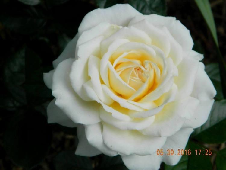 Троянда Cream Abundanc, Harkness, Великобританія, 1999