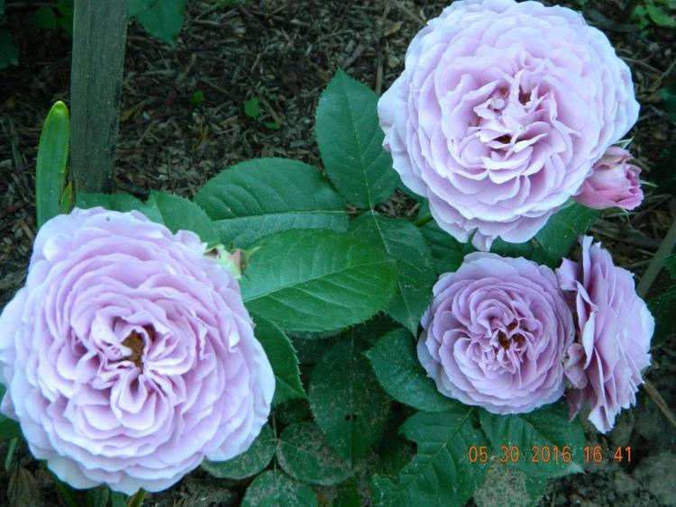 Троянда Lavender Ice, Tantau, Німеччина, 2007