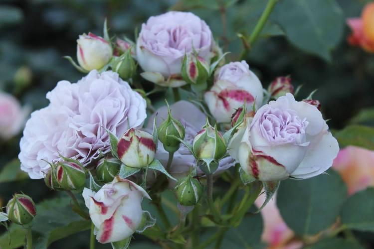 Троянда Florence Delattre, Massad Франція, 1991