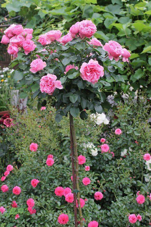 Троянда Leonardo da Vinci на штамбі