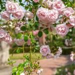 7 яскравих сортів плетистих троянд — рамблери, перевірені часом