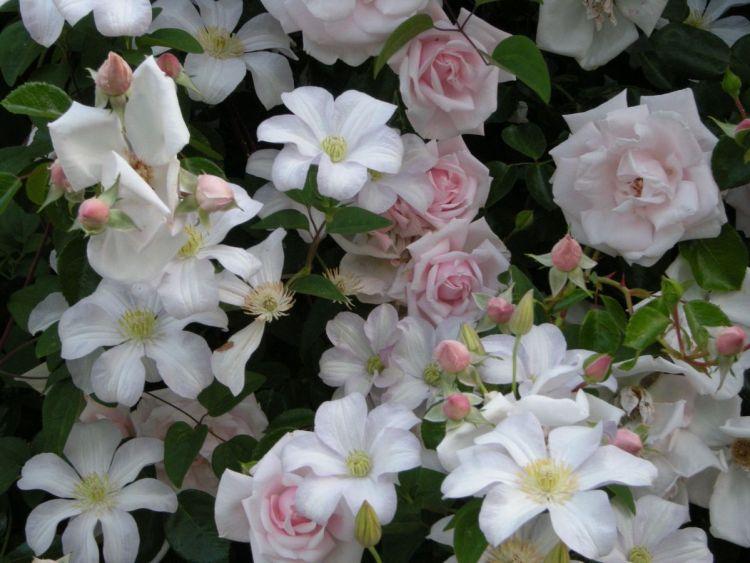 Разом з клематисами троянда New Dаwn стає довершеною – класика жанру