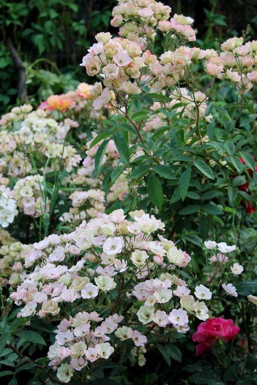 Троянда Alden Biesen