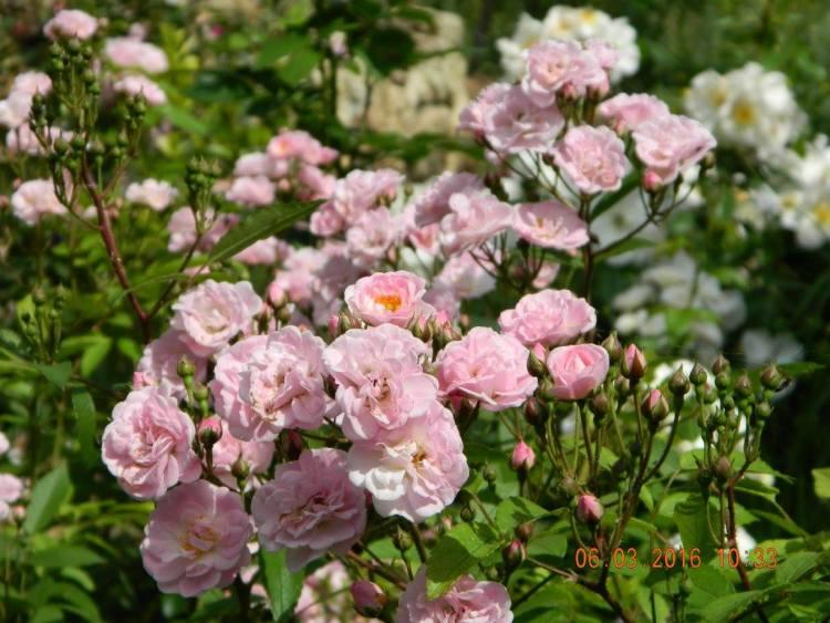 Світ ландшафтних троянд — мускусні гібриди