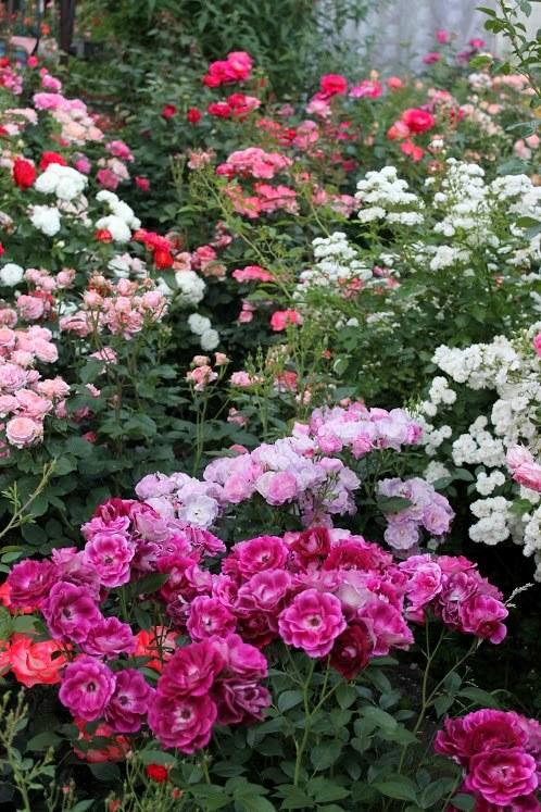 Троянда Guirlande d'Amour (біла зправа) в товаристві флорибунд