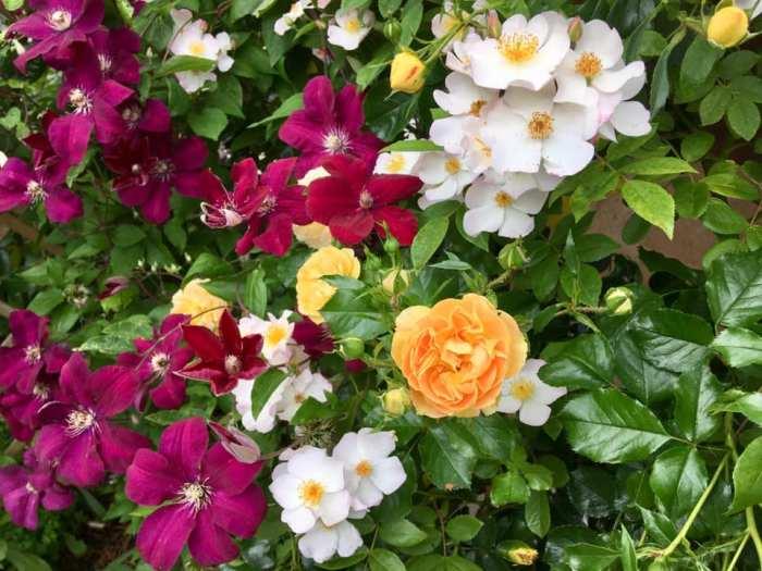 Білий рамблер (мускусний гібрид) з простими квітами Francis E.Lester в поєднанні з кущовою сонячно-жовтою Lizzy та клематисом Rouge Kardinal