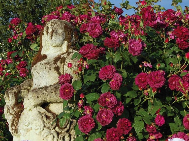 Троянда Chiantі Девіда Остіна