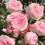 Сорти ностальгічних плетистих троянд клаймберів від Тантау та Дельбара