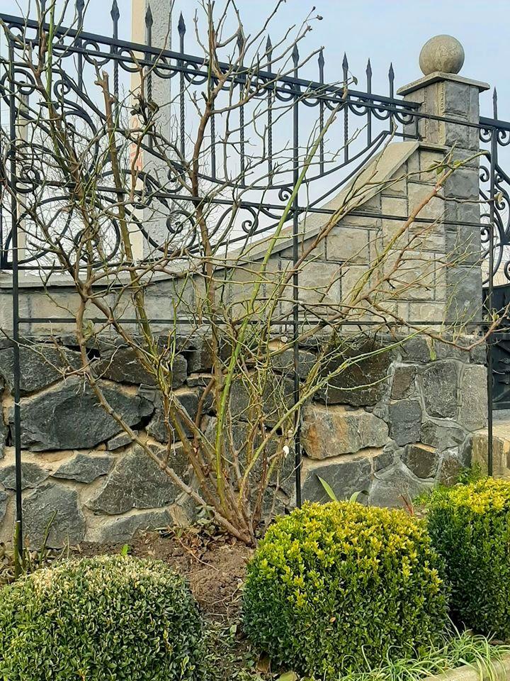 Троянда Pierre de Ronsard, Meilland, Франція, 1987 (клаймбер) після зимівлі: обрізатиметься по мінімуму, для рівномірного цвітіння на паркані деякі гілки будуть загинатися до низу. Гілочки другого порядку зберігаються в залежності від їхньої товщини – в середньому 2-4 бруньки