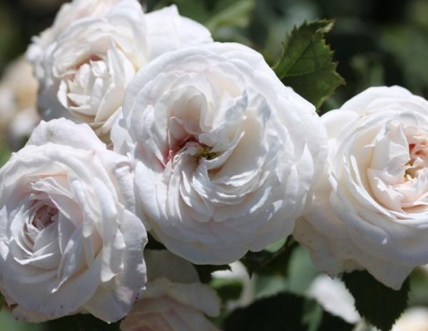 Троянда «Буль Дэ Неж» (Boule de Neige), 1867