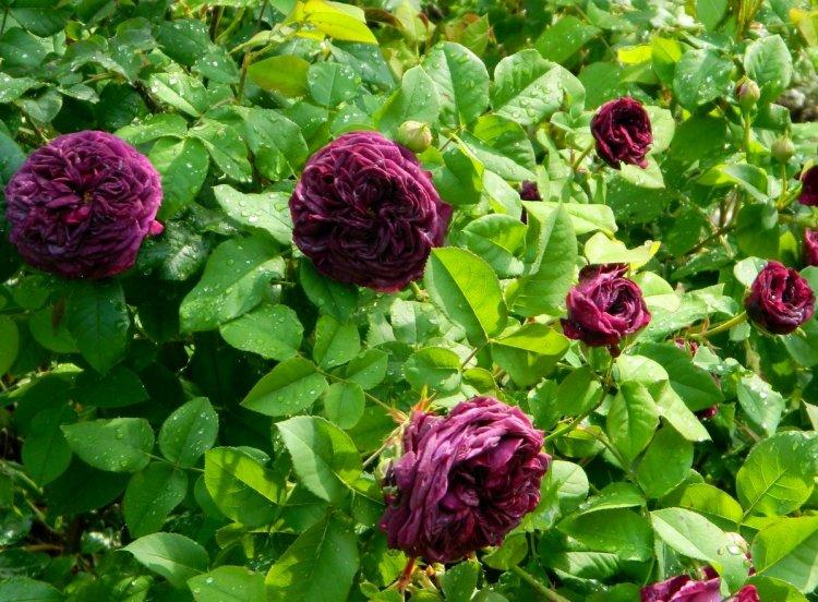 Сучасна гальська троянда Mortalisatis, Novaspina, Італія, 2014