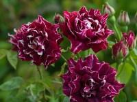 Старовинні троянди з квітами бордового кольору, доступні в Україні