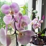 Як поливати орхідею?