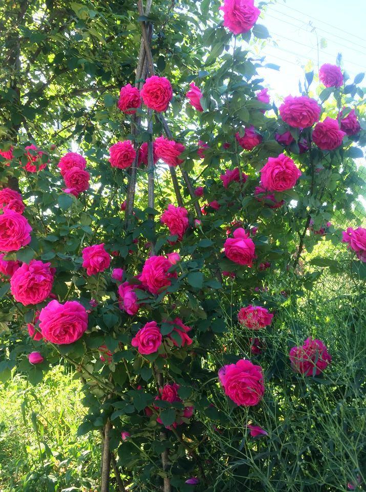 Троянда Mme Isaac Pereire ще нікому в дворі не завадила: квіти – хоч сирими їж, ТАКІ! І, звичайно, надійний постачальник смачних пелюсток до столу