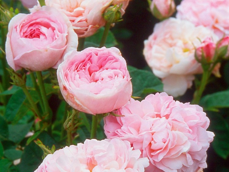 Троянда Duchesse de Montebello