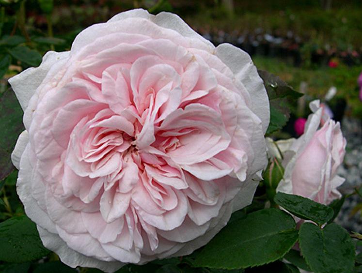 Троянда Souvenir de la Malmaison