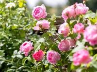 Помилуватися і з'їсти — троянди для варення і іншого використання на кухні