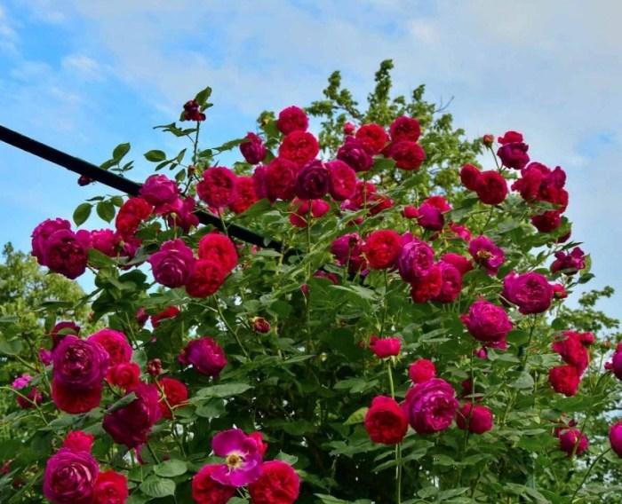 Англйська троянда Falstaff