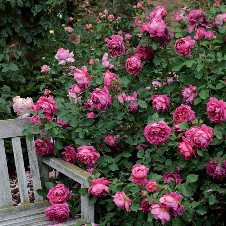 Пахне малиною троянда Lady of Megginch