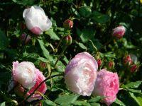 Світло-рожеві сорти старовинних троянд, які можна знайти в Україні