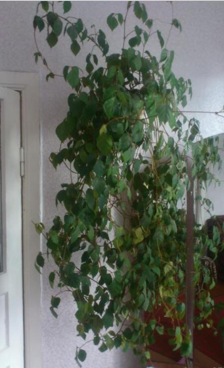 Неприхотливый комнатный цветок: березка или роицисусс ...