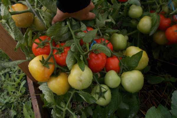 Томат Видимо-невидимо: отзывы, фото, урожайность ...