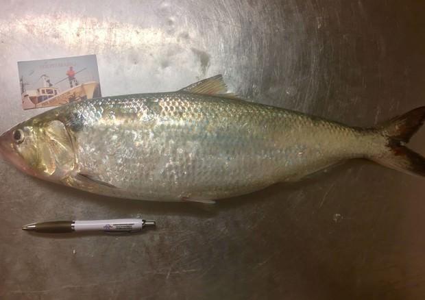sardina gigante