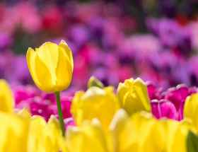 yellow and pink tulip field selective focus photography