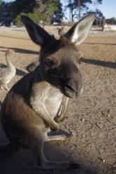 Volunteering Australia animals -Kangaroo Island wildlife sanctuary
