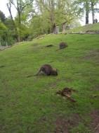 Woburn safari: the wallabies