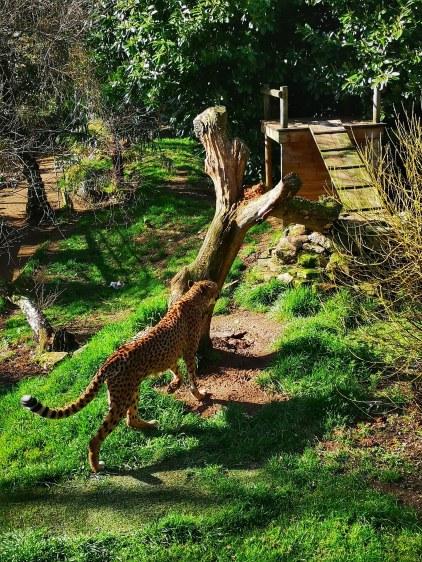 Paradise Wildlife Park cheetah