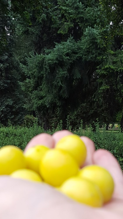 Childhood dreams: eating mirabelles