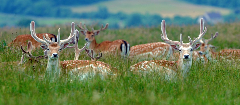 1431756489051-deer-dyrham-park-barry-batchelor-web