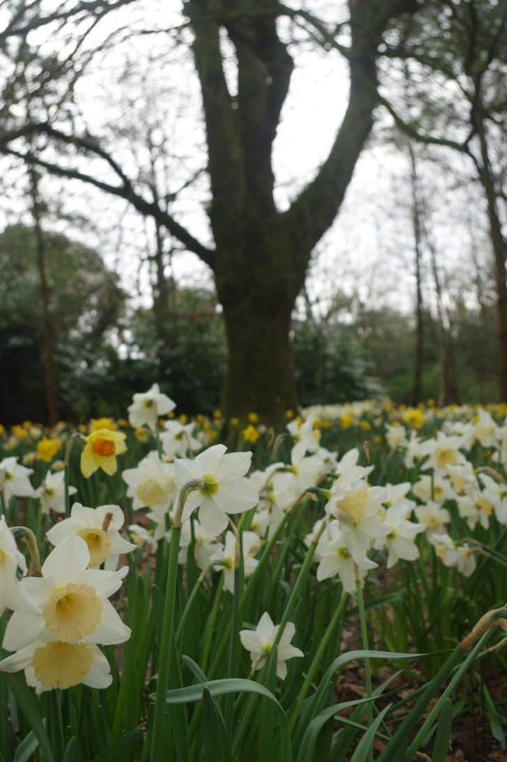 Best things to do near Looe in spring: daffodyls