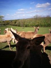 Day out Devon: feeding deers
