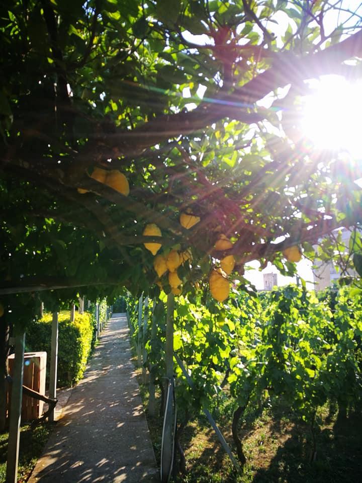 Procida lemon trees
