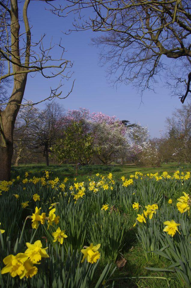 Kew Gardens daffodils