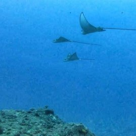 School of eagle rays Seychelles