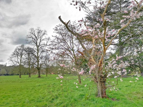 Lightening struck tree blooming, London March 2020