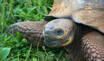 Galapagos Island's giant tortoises