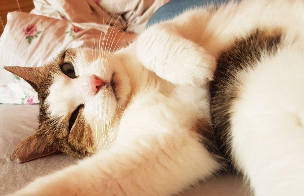 Feline Pankreatitis – Bauchspeicheldrüsenentzündung der Katze