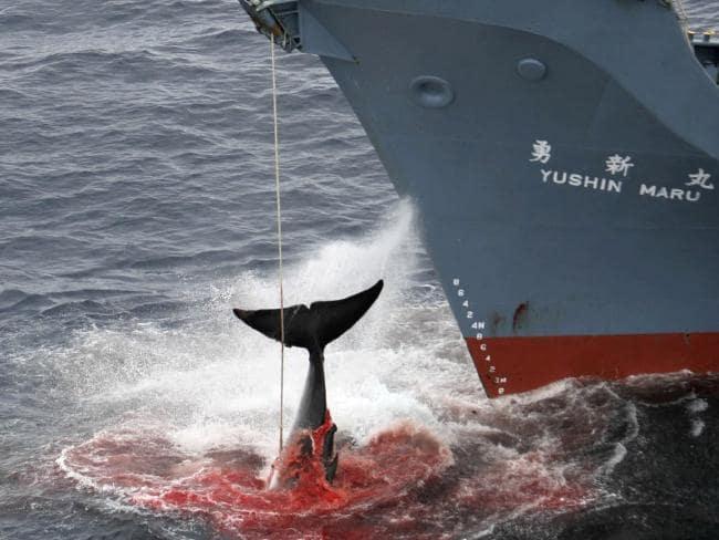 Faut-il couler les baleiniers japonais?