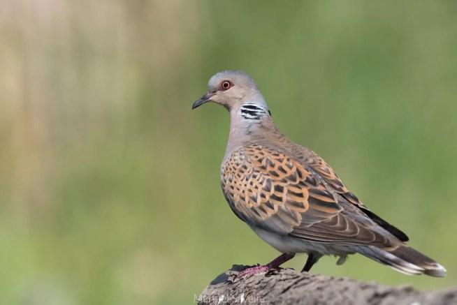 ZERO apoia proibição da caça à rola-comum e considera medida essencial para proteção da espécie